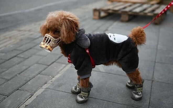 Chuyên gia phản bác khả năng chó nhiễm nCoV